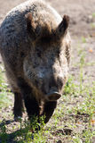 Wild boar. Grazing on pasture on a sunny day Royalty Free Stock Photos