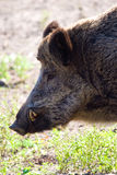Wild boar. Grazing on pasture on a sunny day stock images