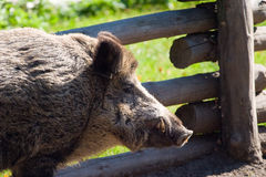 Wild boar. Grazing on pasture on a sunny day Stock Photos