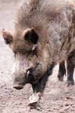 WILD BOAR. An old wild boar eating Stock Photography