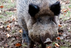 Wild boar. Head of a snoozing wild boar Stock Image