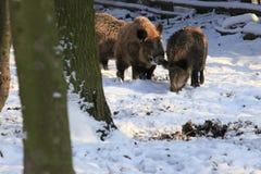 Wild boar Royalty Free Stock Photo