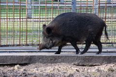 Free Wild Boar Stock Photo - 135942330
