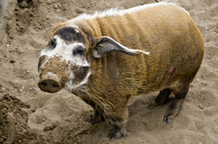Wild boar. In Moscow ZOO Royalty Free Stock Photo