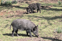 Wild Boar. Two wild boar sniffing for roots Royalty Free Stock Photography