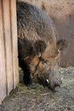 Wild Boar. Male wild boar - Sus scrofa - close-up Stock Image
