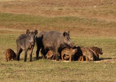 Wild boar Royalty Free Stock Image