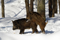 Wild Boar. On a cold day in winter Stock Photos