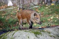 Wild Boar. Standing in the forest in autumn Royalty Free Stock Image