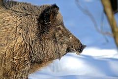 Wild Boar Stock Photo