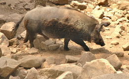Wild boar. Big wild boar in the middle of rocks Royalty Free Stock Photography