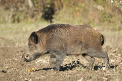 Wild boar. In search of food Royalty Free Stock Images