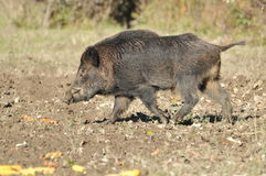 Wild boar. In search of food Royalty Free Stock Photography