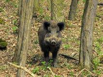Wild boar 2 Royalty Free Stock Photos