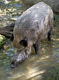 Wild boar 2 Royalty Free Stock Photography