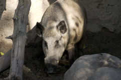 Wild Boar. Or Sus scrofa animal in mud surrounded by rocks royalty free stock photo