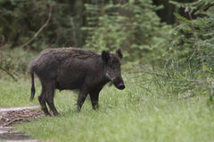 Wild boar. A wild boar at a national park Stock Photography