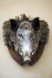 Wild boar. Mounted stuffed wild boar's head Stock Images