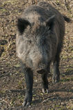 Wild Boar. In the forest Stock Photo