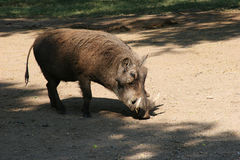 Wild boar. With tusk Stock Photo