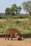 Wild boar. With tusk Stock Image