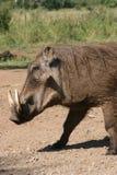 Wild boar. With tusk Stock Photos
