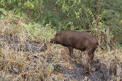 Wild boar. On a background of grass and forest Stock Photo