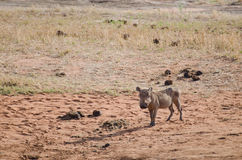Wild boar. In the savannah in Africa Royalty Free Stock Photography