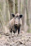 Wild boar stock photos