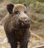 Wild boar. Male wild boar in Bavarian forest Stock Images
