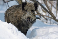 Wild boar. On the snow Royalty Free Stock Photos