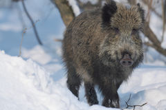Wild boar. On the snow Stock Photo
