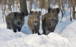 Wild boar. On the snow Royalty Free Stock Image