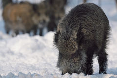 Wild boar. On the snow Stock Photography