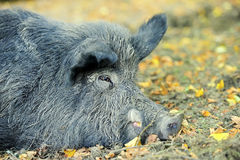 Wild boar Royalty Free Stock Photography