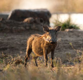 Wild boar. At watering hole, Kruger National Park Royalty Free Stock Images