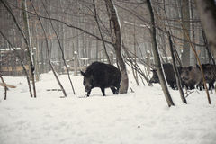 Wild boar. In the winter frosty forest with snow Royalty Free Stock Photography