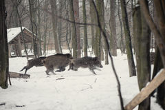 Wild boar. In the winter frosty forest with snow Royalty Free Stock Photos