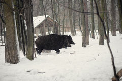 Wild boar. In the winter frosty forest with snow Stock Photo
