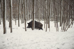 Wild boar. In the winter frosty forest with snow Royalty Free Stock Photo