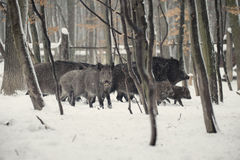 Wild boar. In the winter frosty forest with snow Royalty Free Stock Images