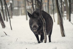 Wild boar. In the winter frosty forest with snow Royalty Free Stock Image
