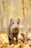 Wild boar. In autumn forest Royalty Free Stock Photo
