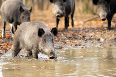 Wild boar. In autumn forest Royalty Free Stock Image