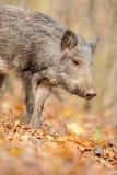 Wild boar royalty free stock image