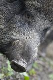 Wild boar. Head of a wild boar with tusks, Netherlands Stock Photography