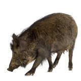Wild boar Stock Images