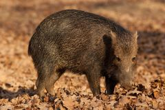 Wild Boar. In an autumn forest Stock Image