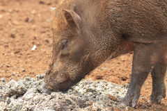 Wild boar. Male close up on a frosty morning Royalty Free Stock Photo