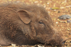 Wild boar. Male close-up on a frosty morning Stock Photography